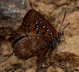 Barbara's Copper (Aloeides barbarae)